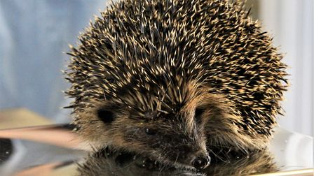 One of the patients at Shepreth Hedgehog Hospital. Picture: Clive Porter