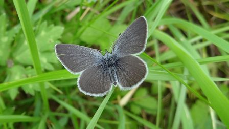 A small blue butterfly (Cupido minimus) by Andrew Wood.
