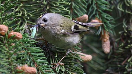 Jackie Hill's photo of a Gold Crest