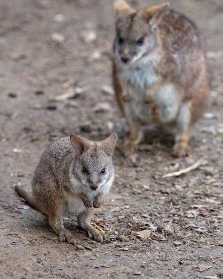 A Parma wallaby. Picture: ROB CADD