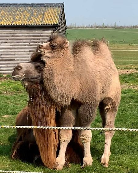 The new camel calf, Biscuit. Picture: CONTRIBUTED