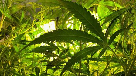 Inside the cannabis factory discovered in St Neots. Picture: CAMBS POLICE