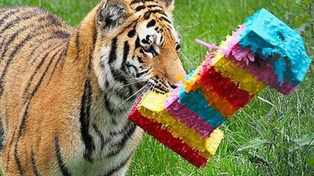 The tiger cubs playing with their birthday presents at ZSL Whipsnade Zoo.