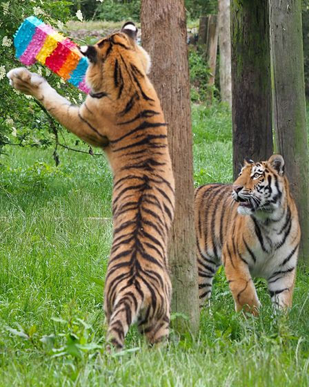 The cubs enjoyed their first birthday presents at ZSL Whipsnade Zoo.