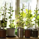 A kitchen windowsill is the ideal place for pots of herbs. Picture: iStock/PA