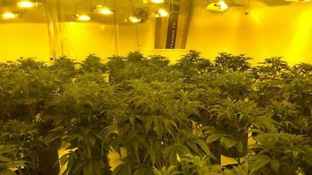 Some of the dozens of plants found by police. Picture: CAMBS POLICE