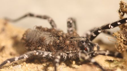 Endangered spiders hatch at ZSL Whipsnade Zoo. Picture: ZSL