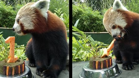 Red Panda Ago with his 1st birthday cake. Picture: Shepreth Wildlife Park