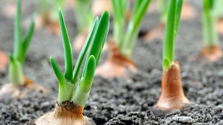 Keep on top of weeding when growing onions because onions they can't compete with weeds. Picture: iS