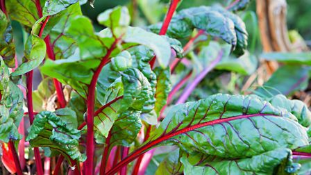 Do only thing you need to do with Swiss chard is keep it well watered in dry spells and free from we