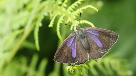 A female purple hairstreak butterfly (Neozephyrus quercus) showing the purple streaks on the upper w