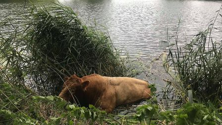 A bull was rescued from the River Great Ouse at Buckden. Picture: CFRS