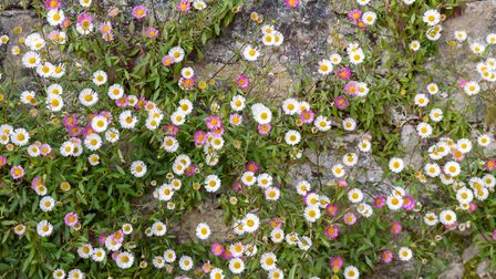 Erigeron karvinskianus (Mexican fleabane) thrives in a hot, dry summer. Picture: iStock/PA