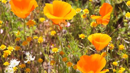 Eschscholzia californica (California poppy) is ideally suited to hot, dry conditions. Picture: iStoc