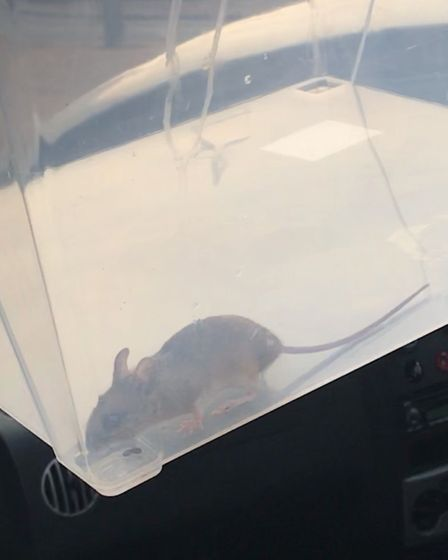 Bobby the mouse pictured after his humane capture. Picture: Richard Burton