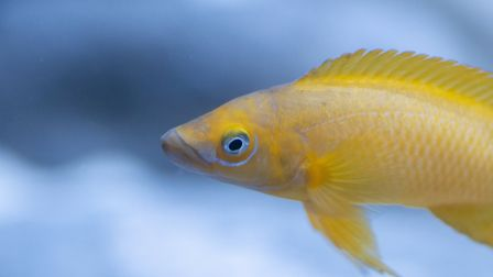 A Lemon cichlid from Lake Tanganyika in Africa can also be seen at the ZSL Whipsnade Aquarium which