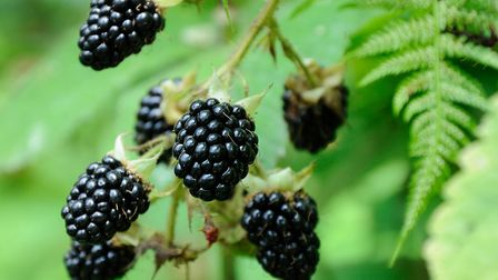 Debbie loves blackberry season. Picture: Getty Images/iStockphoto