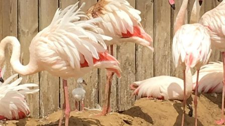Baby flamingos have been hatched at Hamerton Zoo
