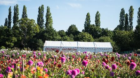 More than 50 varieties of dahlia will be on display in both a field and Celebration Tent at the Ayle