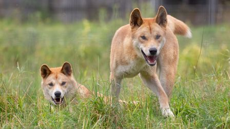 Dingoes at Hamerton Zoo Park. Picture: robcaddphotography.co.uk