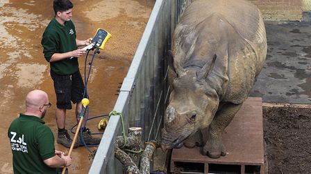 Behan the greater one-horned rhino being weighed at ZSL Whipsnade Zoo. Picture: Tony Margiocchi