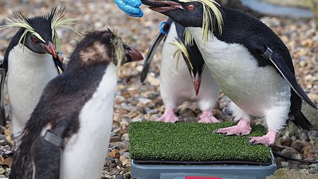 Nothern rockhoppers being weighed at ZSL Whipsnade Zoo. Picture: Tony Margiocchi