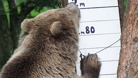 A European bear being weighed at ZSL Whipsnade Zoo. Picture: Tony Margiocchi