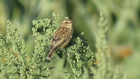 A whinchat (Saxicola rubetra). Picture: Rupert Evershed