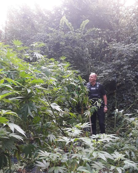 Cannabis plants worth more than £25,000 have been seized by police in Tetworth.