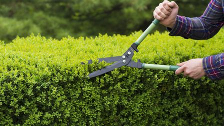 If you have hedges in your garden, now is a good time to trim them to make sure they are looking goo