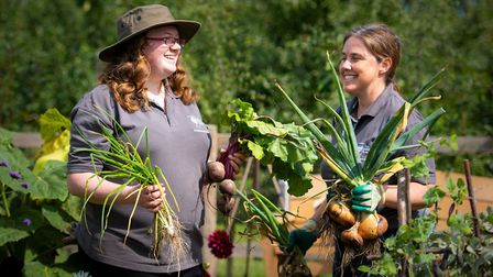 Emma Griffith and RHS colleague Elin Campbell Wooding harvesting vegetables at RHS Garden Wisley. Pi