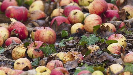 Fallen apples are another thing for gardeners to deal with. Picture: Getty Images/iStockphoto