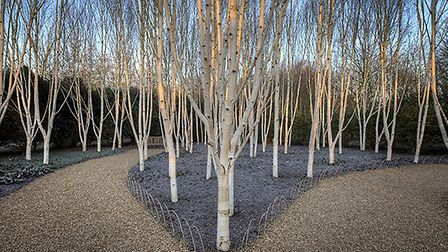 Silver birch trees in The Winter Walk at Anglesey Abbey in Cambridgeshire.