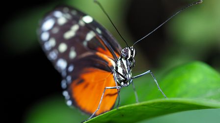 The tiger longwing butterfly at ZSL Whipsnade Zoo. Picture: Tony Margiocchi