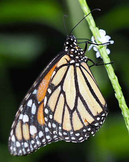 The monarch butterfly at ZSL Whipsnade Zoo. Picture: Tony Margiocchi