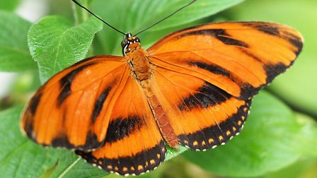 The plain tiger butterfly at ZSL Whipsnade Zoo. Picture: Tony Margiocchi