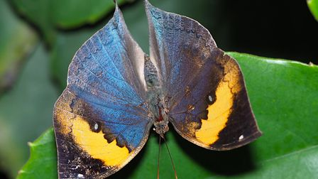 The Indian leafwing butterfly at ZSL Whipsnade Zoo. Picture: Tony Margiocchi
