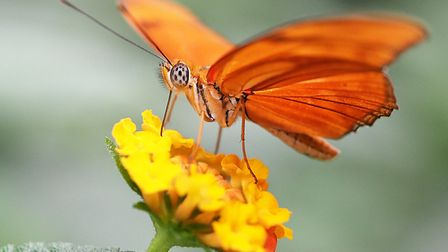 The flamebeau butterfly at ZSL Whipsnade Zoo. Picture: Tony Margiocchi