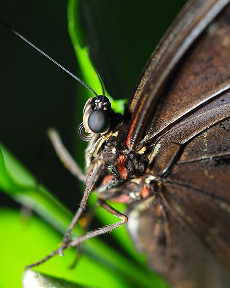 The blue morpho butterfly at ZSL Whipsnade Zoo. Picture: Tony Margiocchi
