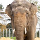 ZSL Whipsnade Zoo's new bull elephant Ming Jung. Picture: Whipsnade Zoo