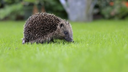 Herts and Middlesex Wildlife Trust and Hornbeam Wood Hedgehog Sanctuary have raised more than 1,300