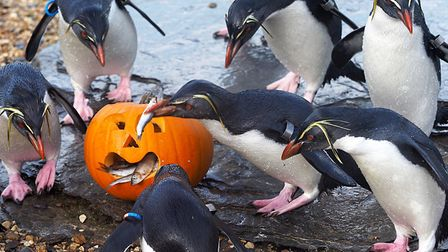 ZSL Whipsnade Zoo animals tucked into pumpkins painted with blood and stuffed with fish as a Hallowe
