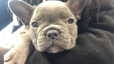 A French bulldog puppy was seized from a home in Ramsey. Picture: CONTRIBUTED