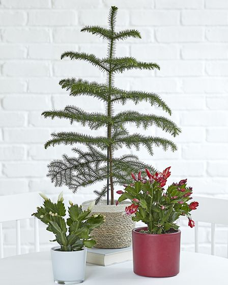 The Norfolk Island pine acts as a perfect foil for smaller, colourful houseplants such as Christmas