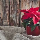 The poinsettia is the ultimate Xmas plant. Picture: Getty Images/iStockphoto