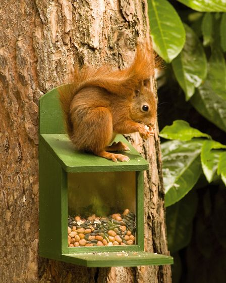 9. Snack time: a squirrel enjoying the contents of a CJ Wildlife wooden squirrel feeder. Picture: CJ