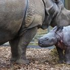 A female baby rhino, who has yet to be named, was born at ZSL Whipsnade Zoo. Picture: Tony Margiocch