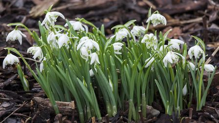 Snowdrops are often found in early spring gardens. Picture: Getty Images/iStockphoto