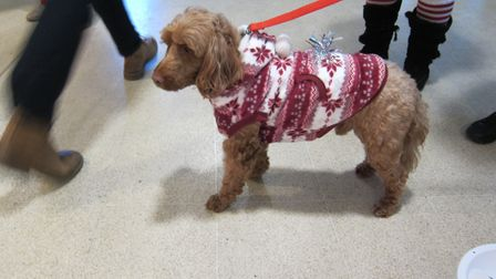 Jules the cocker-poodle helped raise money with Soroptimists at St Albans City station Picture: Jane