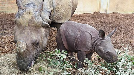 Rhino mum Behan and her calf Zhiwa will be counted as part of ZSL Whipsnade Zoo's annual stock-take.